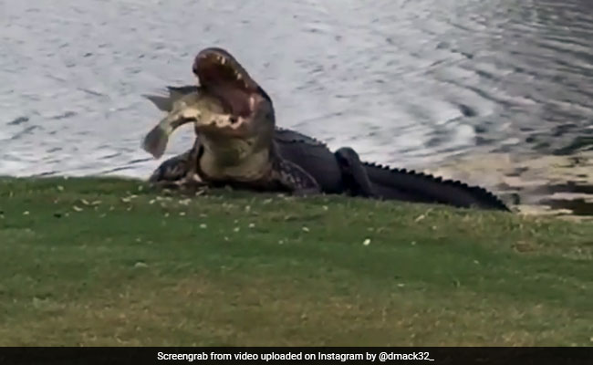 Watch: Hungry Alligator Chomps Down On Fish