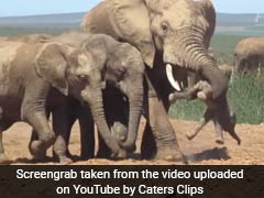 Chilling Video Shows Baby Elephant Tossed Aside By Bull Elephant