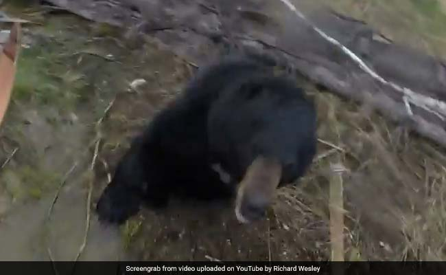 Wild video shows hunter being charged by black bear