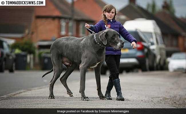ब्रिटेन में सात फीट का विशालकाय कुत्ता जिसका वजन छोटे हाथी के बराबर