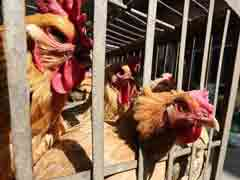 Amid Coronavirus Scare, Bird Flu Cases Found At Kerala Poultry Farm