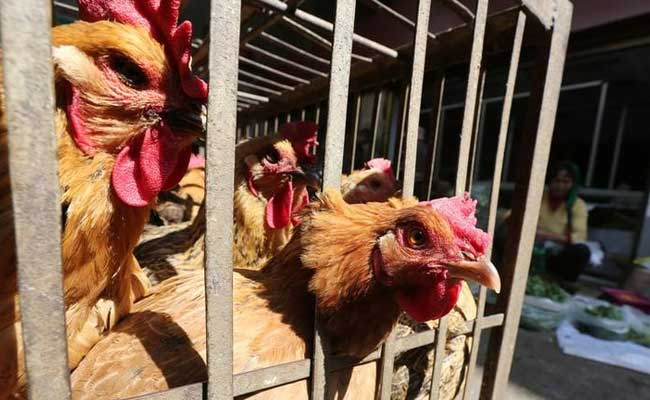 20,000 Chickens Die From Bird Flu Outbreak In China
