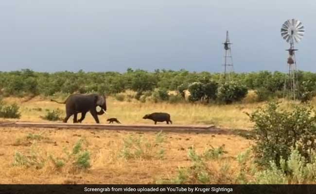 भैंस के बच्चे को आया गुस्सा तो विशालकाय हाथी की निकाल दी सारी हेकड़ी
