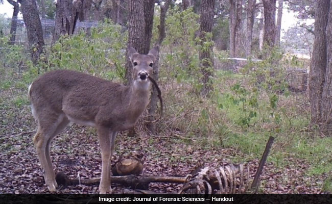 Bambi's revenge? Deer photographed nibbling on human bones, a first