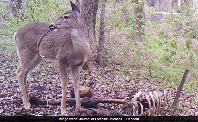 Deer is pictured eating human corpse in shocking image