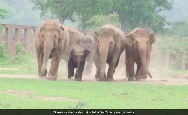 Elephant Herd Runs To Greet Its Newest Member - An Orphaned Baby Elephant