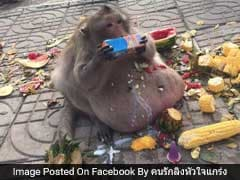 Obese Monkey Who Snacked On Tourists' Food Sent To 'Fat Camp' In Thailand