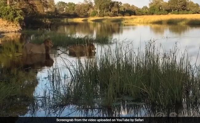 पानी में तैर रहे शेर पर मगरमच्छ ने कर दिया हमला, देखें- दिल दहला देने वाला Video