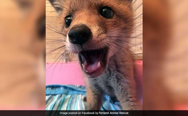 The Internet Loves This Little Fox Cub Found Hiding Under A Sofa