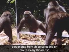 जंगल में हमशक्ल को देख चिल्लाने लगा चीता-गोरिल्ला, वीडियो देख हो जाएंगे लोटपोट!