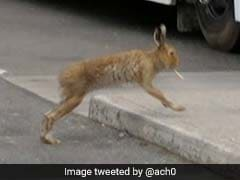 Viral Pic Shows A Hare 'Smoking'. But Here's What's Actually Happening