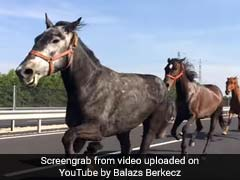 The Great Escape: Horses Gallop Down Highway, Leaving Everyone Stunned