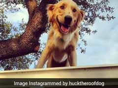 Internet Loves This Dog Who Chills On A Roof Like It's No Big Deal
