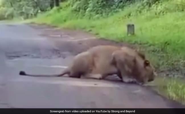 जब मोटर साइकिल सवार के सामने आ गया बब्बर शेर, Video में देखें आगे क्या हुआ