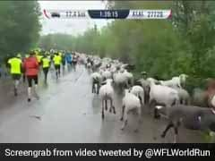 Herd Mentality: Sheep, Goats And Even Cows Invade Charity Run In Germany