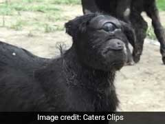 In Assam, Baby Goat Born With One Eye Baffles Villagers