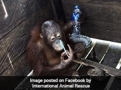 After 2 Years In A Tiny Cage, Freedom At Last For Kotap The Orangutan