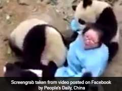 Clingy Pandas Shower Nanny With Way Too Much Love In Hilarious Video
