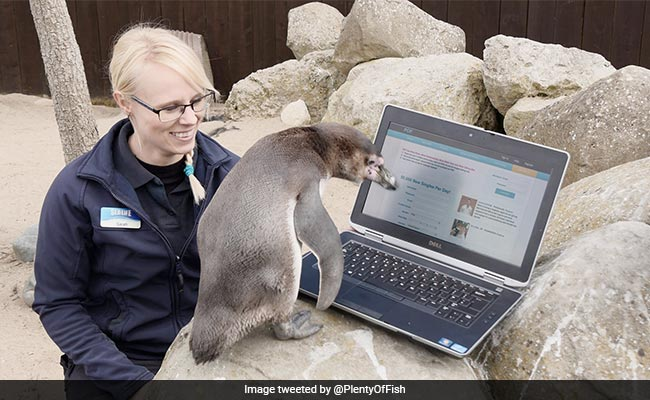 Lonely Penguin Turns To Online Dating To Find Love