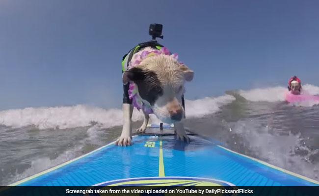 बीच समुद्र में सर्फिंग करते इन दो डॉग्स को जिसने भी देगा हैरान हो गया...