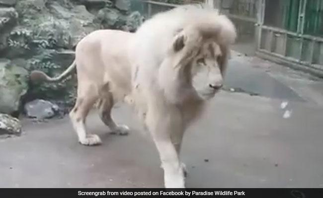 शेर है, लेकिन 'शेरदिल' और 'बहादुर' नहीं : जब बुलबुले से डर गया जंगल का राजा