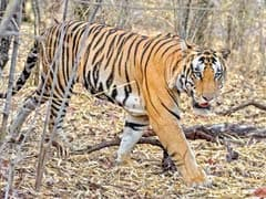 Two Men Killed By Tiger Near Uttar Pradesh's Pilibhit Reserve