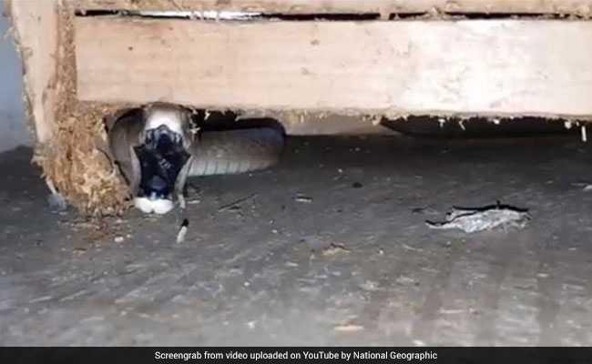 खतरनाक जहरीला सांप जब घुस आया एक घर में....Video में देखें कैसे पकड़ा गया