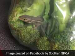 Lizard Found Inside Bag Of Broccoli, Survived Flight From Spain To Scotland
