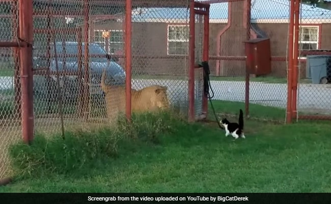 Cat Vs Lion: How A Kitten Took On A Big Cat And Survived To Tell The Tale