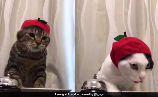 किसी ऑफिस की 'बॉस' से कम नहीं है ये बिल्लियां, वीडियो देखकर कहेंगे 'कितनी प्यारी हैं दोनों'