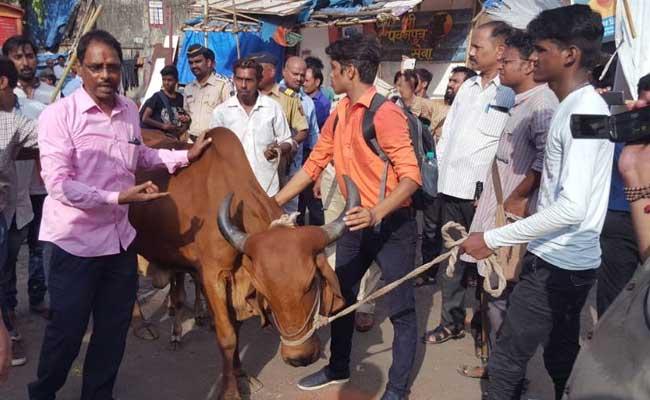 मुंबई : बीफ फेस्टिवल के खिलाफ हुए आंदोलन में गाय डर गई गो भक्तों से!