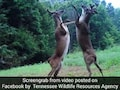 Dear Oh Dear! Watch These Deer Battle It Out While Standing On Hind Legs