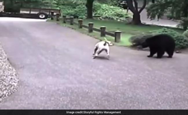 Video : कुत्ते की बहादुरी के आगे भालू की हो गई सिट्टीपिट्टी गुम