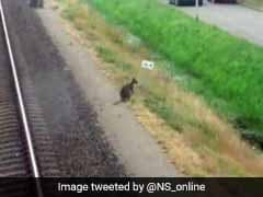 Stray Wallaby Has Dutch Town Hopping