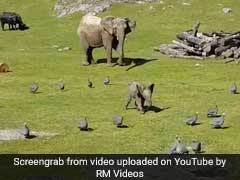 Baby Elephant Chases Birds To Play. Falls Face-Down