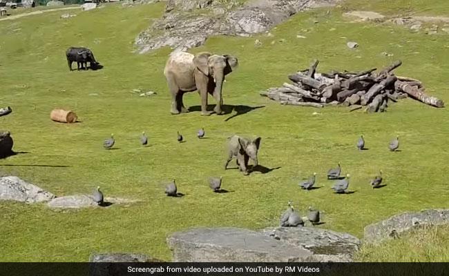 जब नन्हा हाथी भिड़ गया छोटे-छोटे पक्षियों से, खानी पड़ी मुंह की!