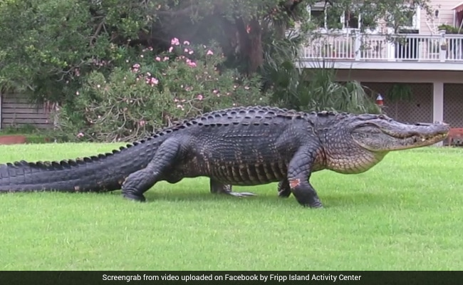 Watch: 12-Foot-Long Alligator Casually Strolls Across Golf Course
