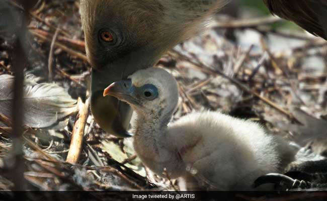 Gay Vultures Become Proud Daddies After Hatching Abandoned Egg
