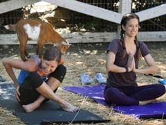 Imagine That <i>Asana</i> With Goats On Your Back. This Is Latest Yoga Craze.