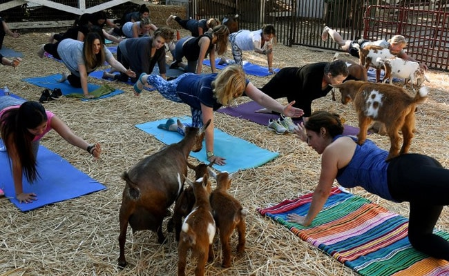 goat yoga afp