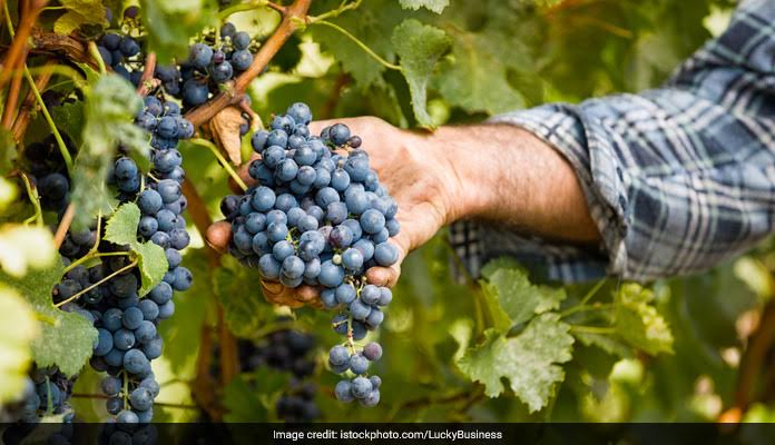 Eat Grapes To Kill Cancer Cells