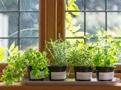 3 Medicinal Plants You Can Grow At Home: Know Impressive Health Benefits Of Each