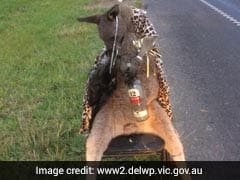 Kangaroo Dressed In Leopard Print Shot, Was Tied To Chair, Booze In Arms