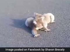 Watch: Koalas Almost Run Over By Truck. They Are Too Busy Brawling