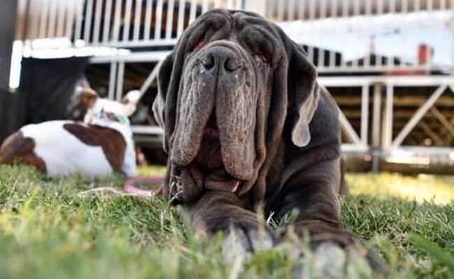 कैसे पलभर में मशहूर हो गया दुनिया का यह सबसे 'कुरूप' कुत्ता