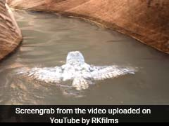 Rare Clip Of Owl Swimming Is Viral. Over 2 Lakh Views And Counting