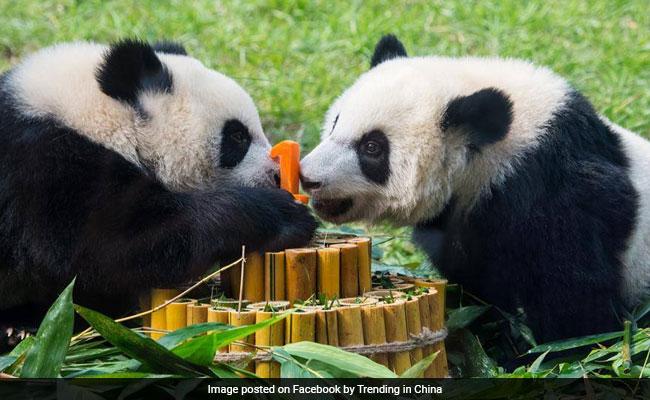 Bamboo Cake For Panda Twins Celebrating First Birthday. See Adorable Pics