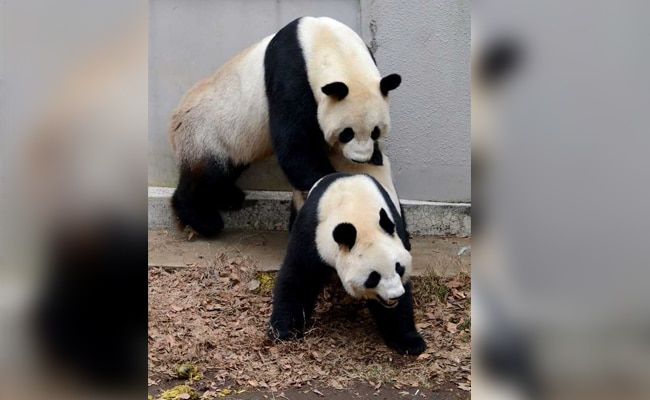 Newborn Panda Welcomed Into The World With A Huge Celebration