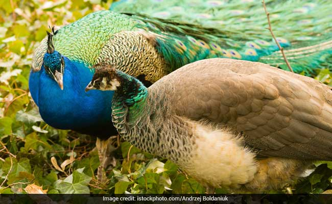 Peacock does not do sex: Rajasthan's judge remarks torn up on twitter