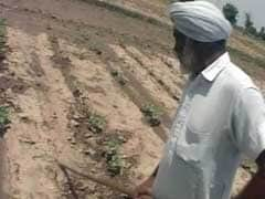 Punjab Cotton Farmers' Dilemma: Despite More Crop Yield, Profit Is Meagre